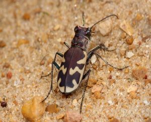 भुंगेरा (Beetle)