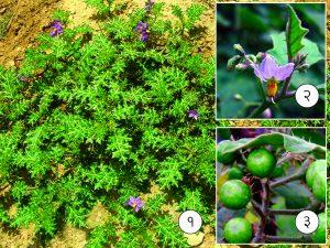 भुईरिंगणी (Yellow berried nightshade)