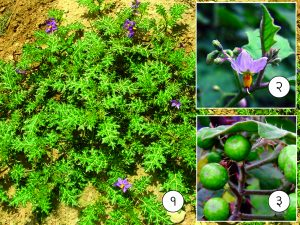 Read more about the article भुईरिंगणी (Yellow berried nightshade)