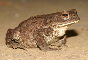 भेक (Toad)