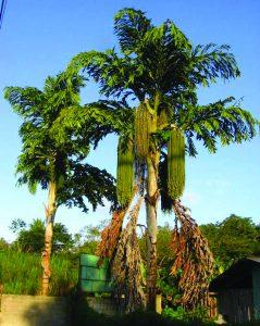 भेर्ली माड (Jaggery palm)