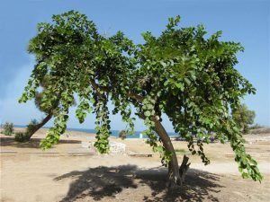 Read more about the article भोकर (Assyrian plum)