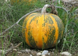 Read more about the article भोपळा (Pumpkin)