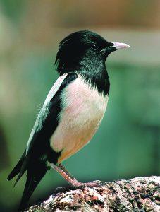 भोरडा (Rosy starling)