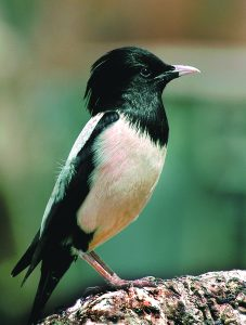 Read more about the article भोरडा (Rosy starling)