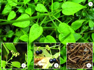 Read more about the article मंजिष्ठ (Indian madder)
