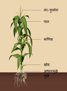 मका (Maize)
