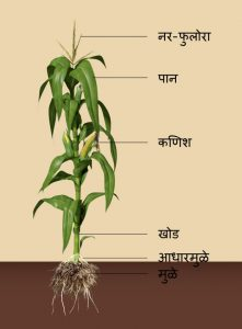 Read more about the article मका (Maize)
