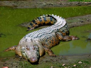 Read more about the article मगर (Crocodile)