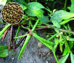 मटकी (Moth bean)