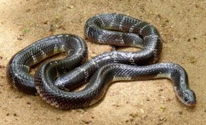 मण्यार (Common krait)