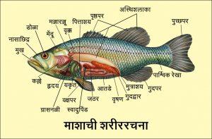 मत्स्य अधिवर्ग (Superclass Pisces)