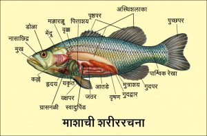 Read more about the article मत्स्य अधिवर्ग (Superclass Pisces)
