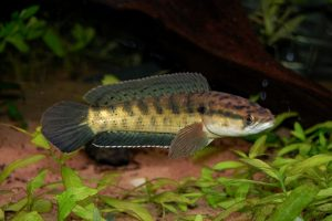 Read more about the article मरळ (Snake headed fish)