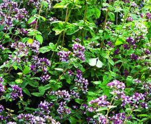 Read more about the article मरवा (Sweet marjoram)