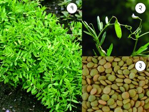 Read more about the article मसूर (Lentil)