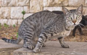 Read more about the article मांजर (Cat)