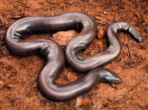 काळ्या जादूसाठी वापरणाऱ्या सापाची ...