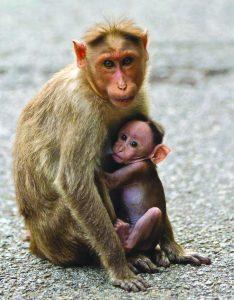 माकड (Monkey)