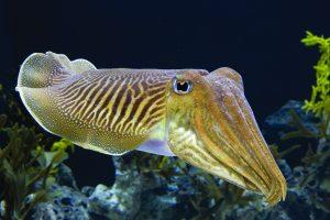माखली (Cuttlefish)