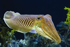 Read more about the article माखली (Cuttlefish)