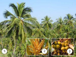 माड (Coconut palm)