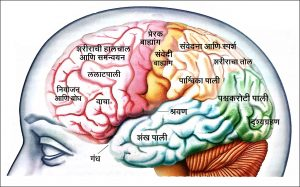 Read more about the article मानवी मेंदू (Human Brain)