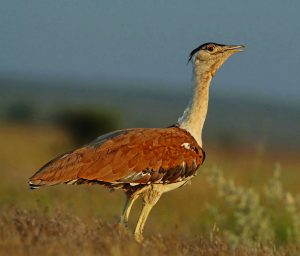 माळढोक (Great Indian bustard)
