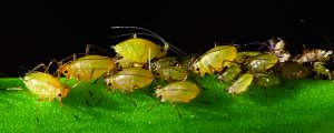 Read more about the article मावा (Aphid)