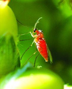 मिज माशी (Midge fly)