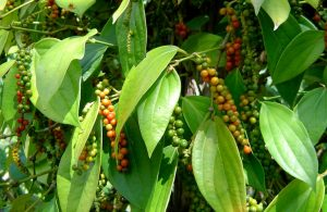Read more about the article मिरी (Black pepper)