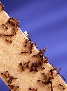मुंगी (Ant)