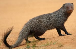 मुंगूस (Mongoose)