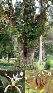 मुचकुंद (Dinner plate tree)