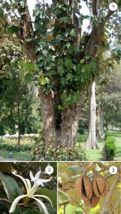 Read more about the article मुचकुंद (Dinner plate tree)
