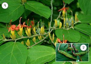 मुरडशेंग (Indian screw tree)
