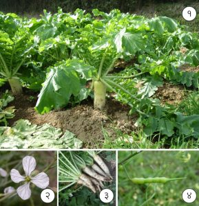 Read more about the article मुळा (Radish)