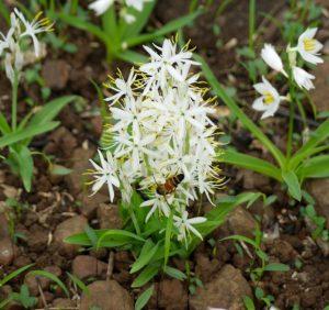 मुसळी, सफेद (Indian spider plant)