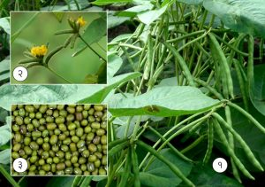Read more about the article मूग (Moong bean)