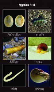 मृदुकाय संघ (Mollusca)