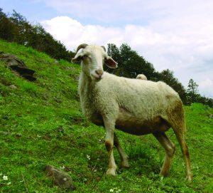 मेंढी (Sheep)