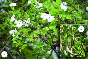 Read more about the article मेंढशिंगी (Medhshingi tree)