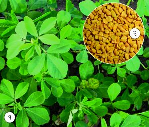 Read more about the article मेथी (Fenugreek)