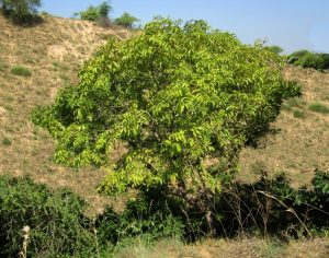 मोई (Indian ashtree)