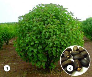 मोगली एरंड ( Barbados nut)