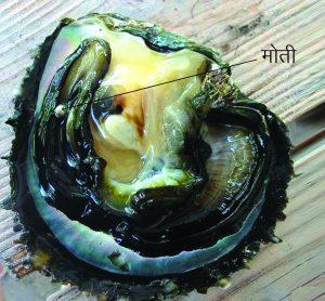 मोती-कालव (Pearl oyster)