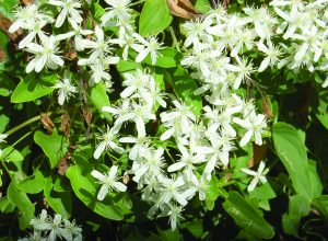 Read more about the article मोरवेल (Virgin's bower)