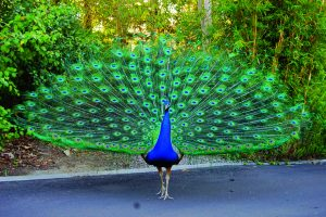 मोर (Peacock / Peafowl)