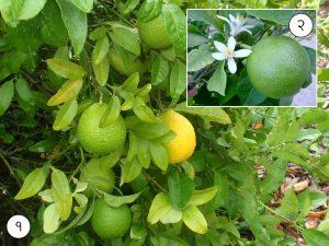 मोसंबे (Sweet lime)