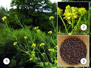 मोहरी (Black mustard)